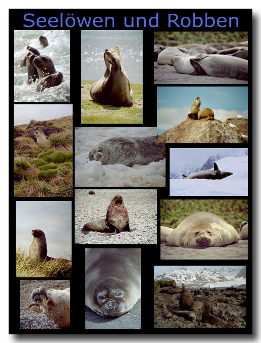 Seelöwen und andere Robben / Sealions and other seals