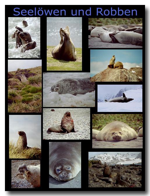 Seelöwen und andere Robben / Sealions and other seals