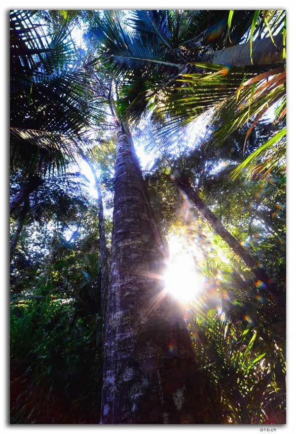 Waipoua, Kauri