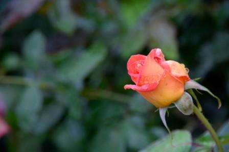 L132 Rose