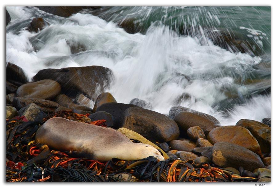 Curio Bay, Seelöwe