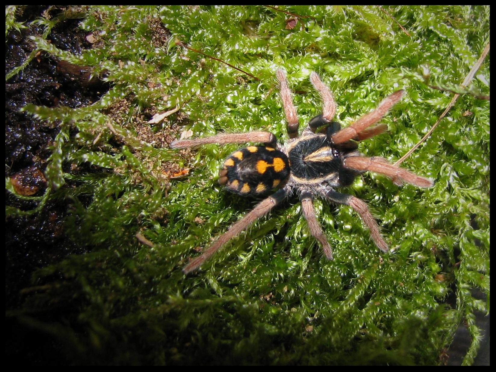 0.1 Hapalopus triseriatus 'highland'