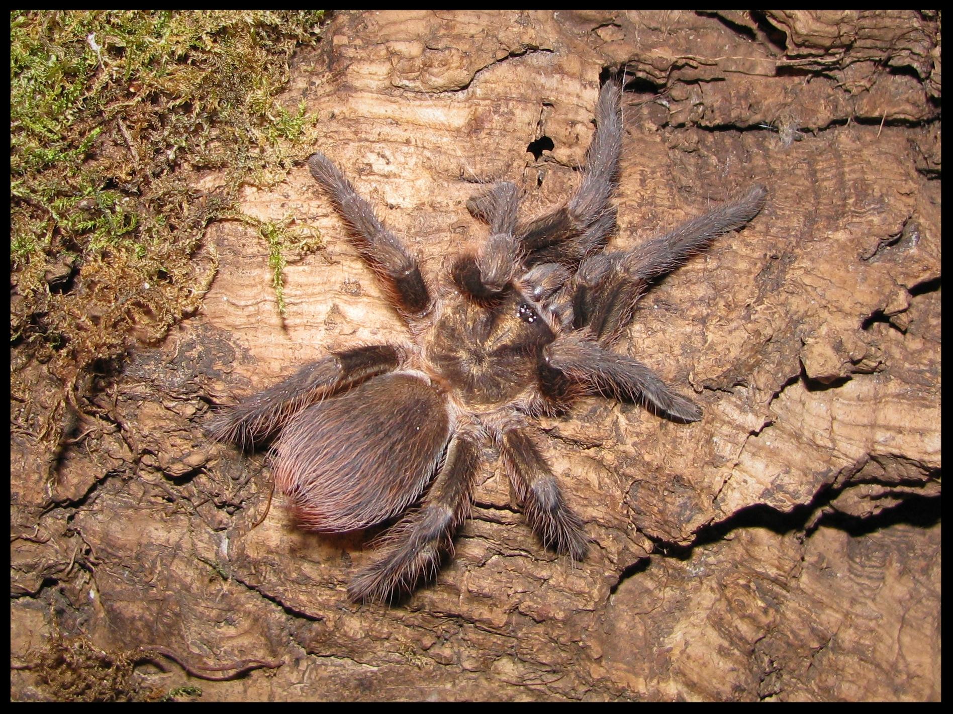 1.0 Phormictopus auratus juvenil