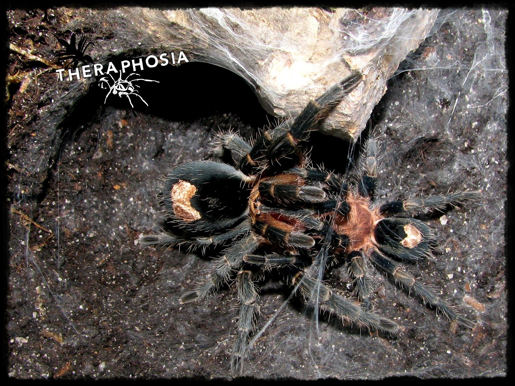 1.1 Cyriocosmus sp. Rio Nanay