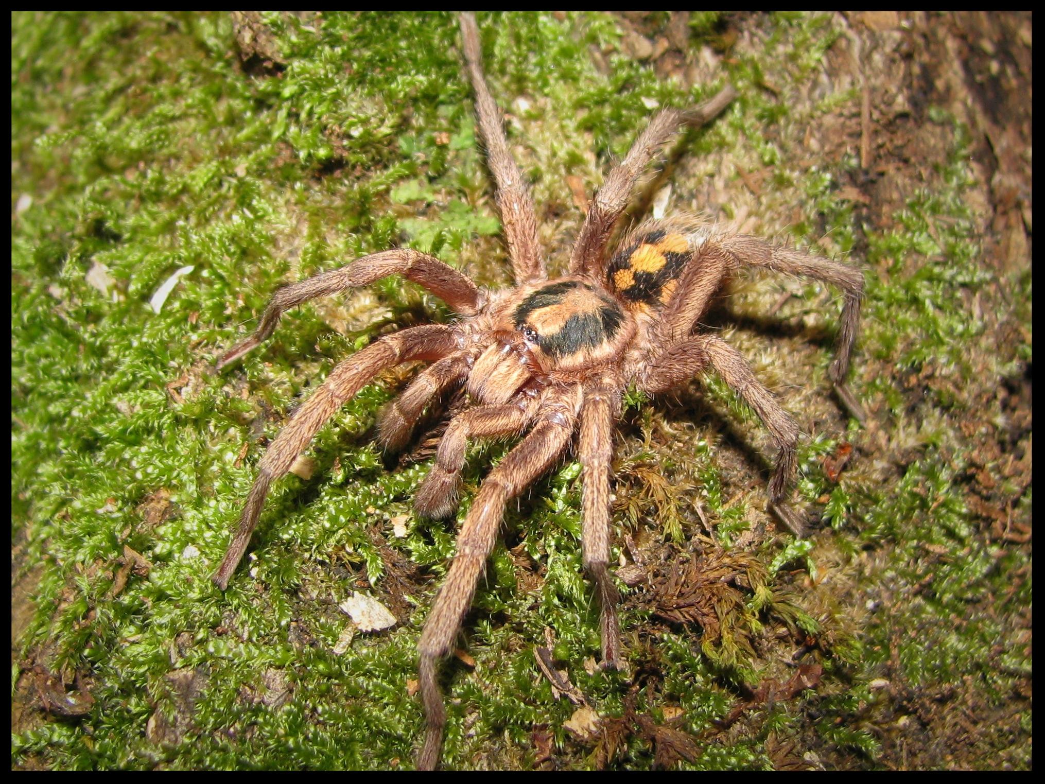 1.0 Hapalopus sp. groß