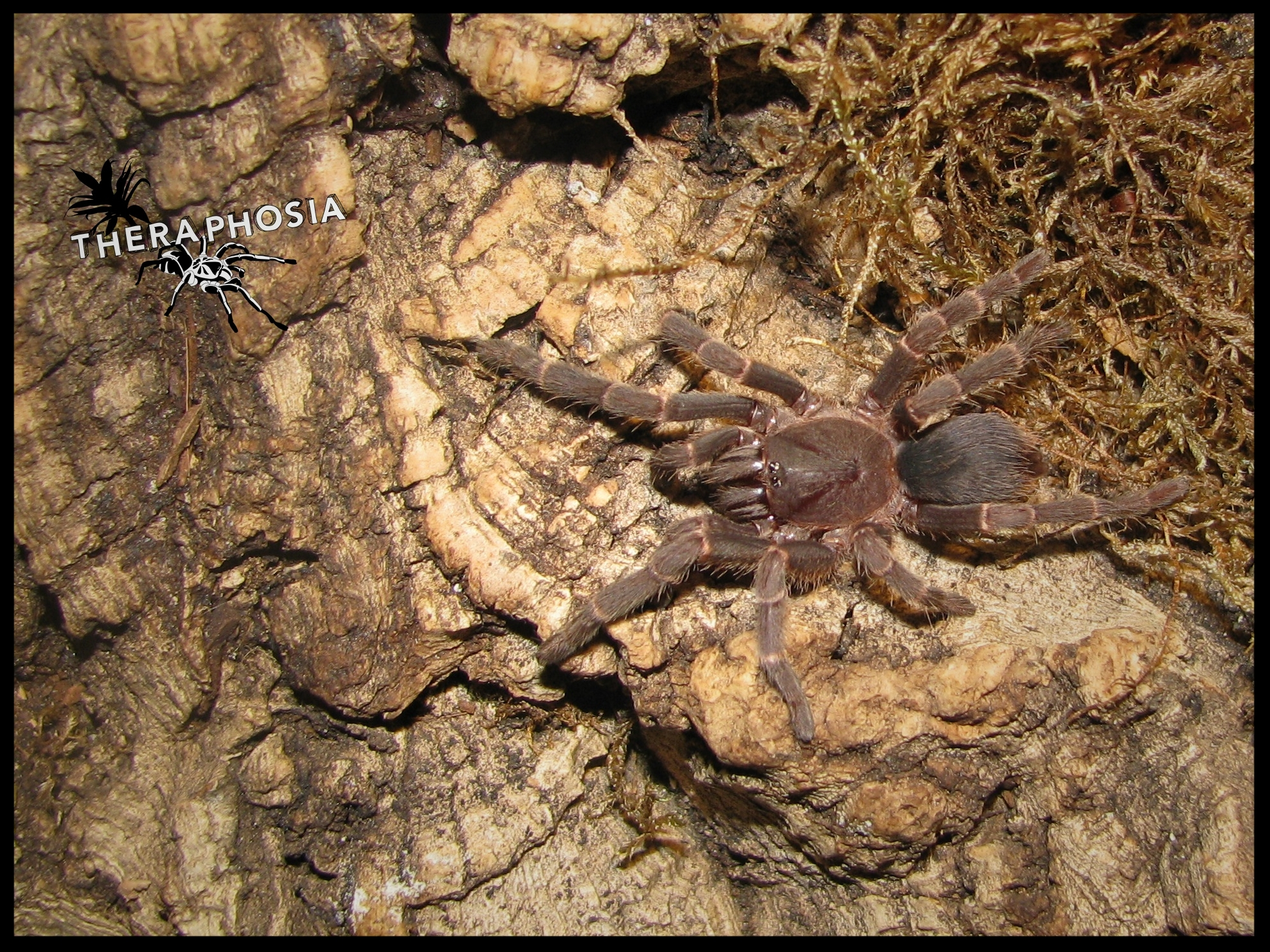0.1 Selenocosmia kovariki,  juvenil