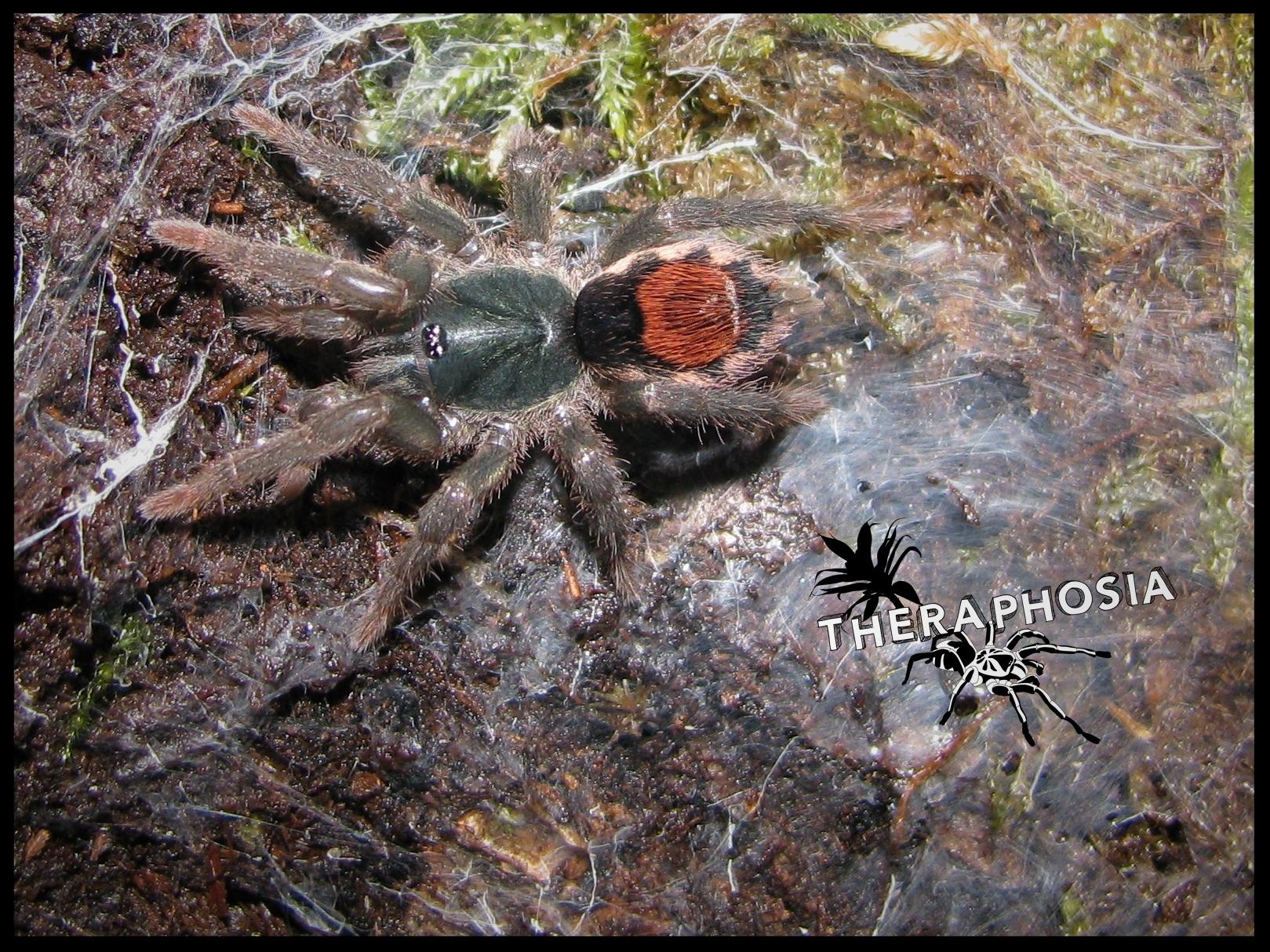 0.1 Neostenotarsus sp. Suriname
