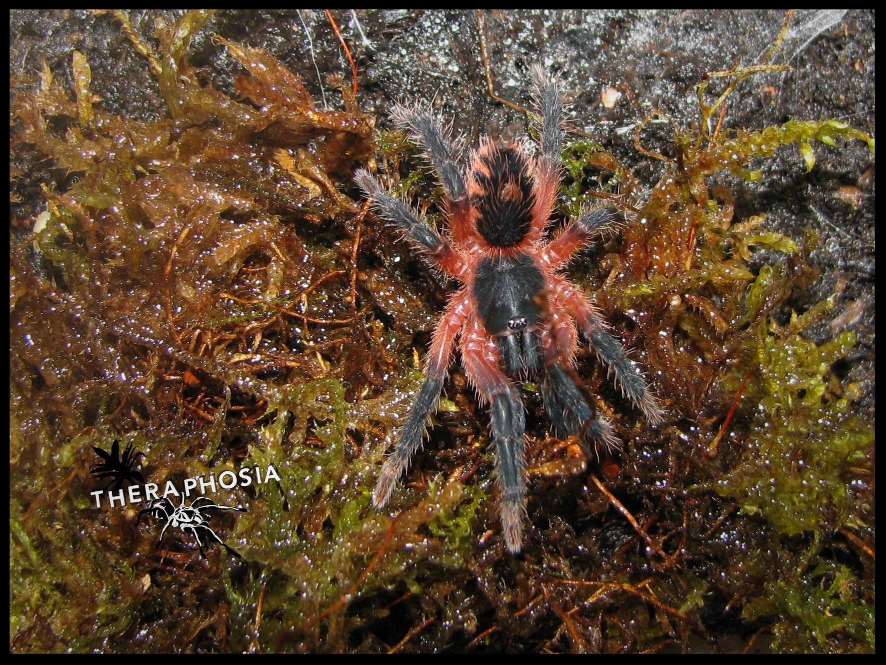 0.1 Theraphosinae sp. Panama