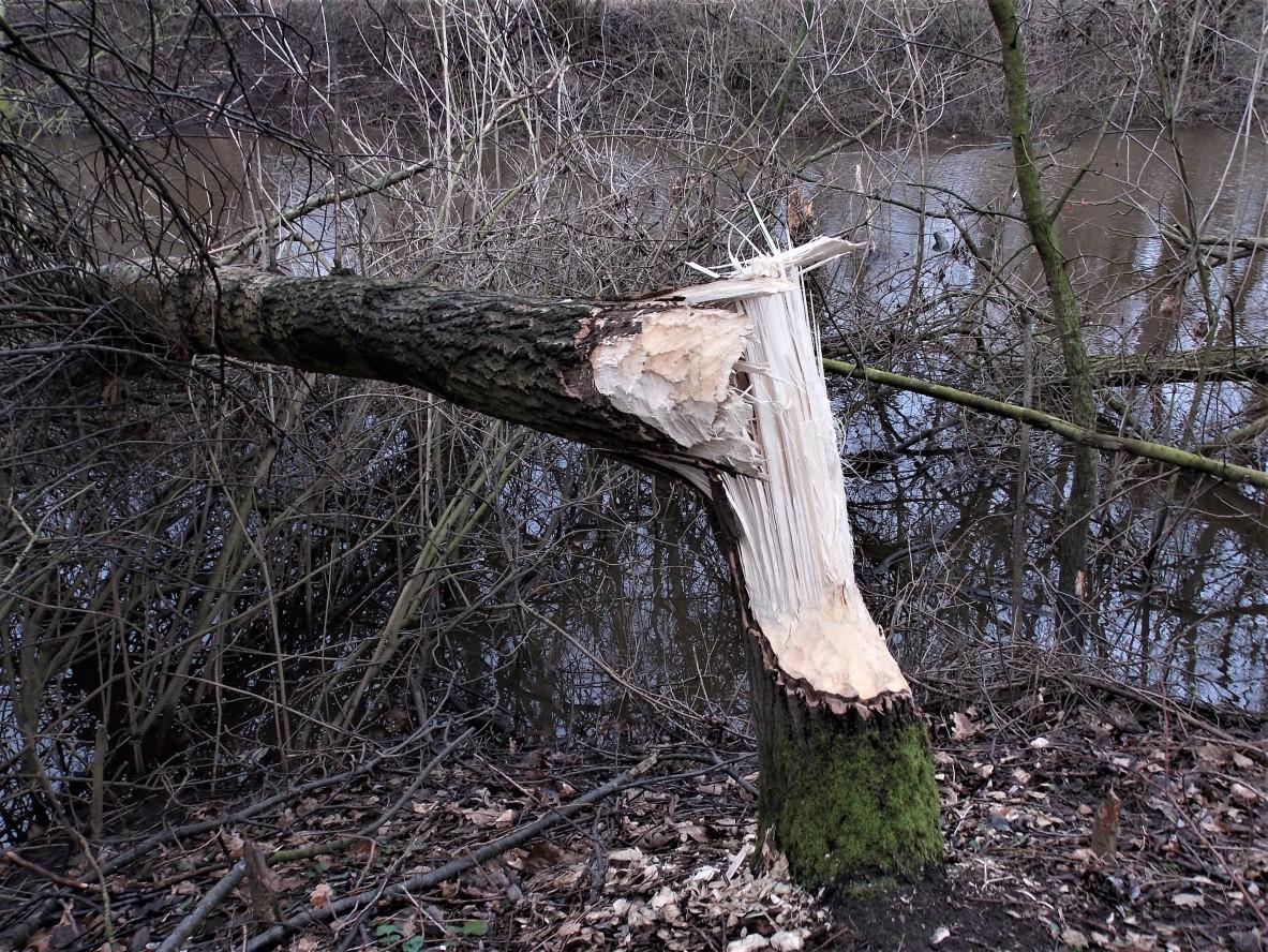 Baum gefällt - Müden