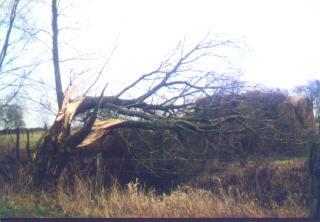 Nicht gepflegte Weiden können aufgrund ihres weichen Holzes bei Sturm leicht auseinander brechen