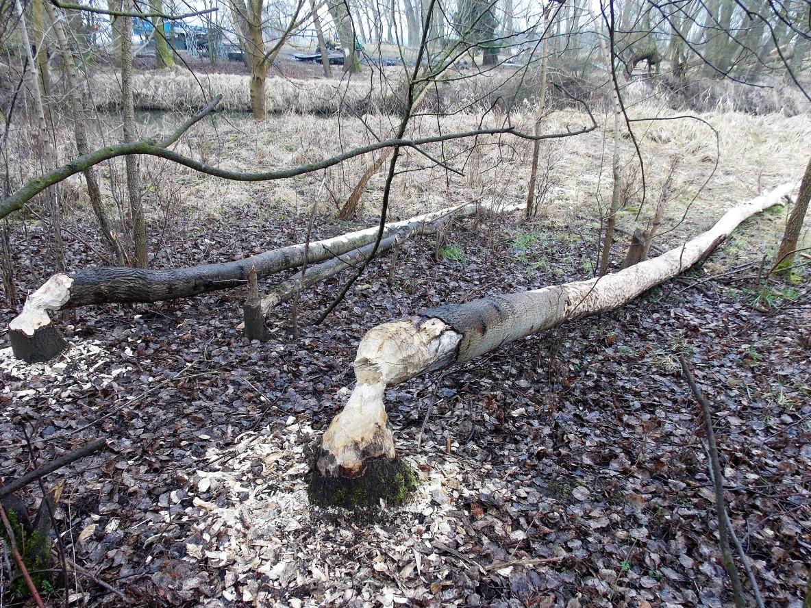 Bäume gefällt - Meinersen