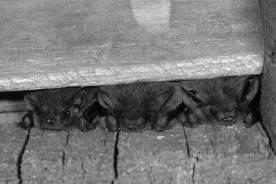 Zwergfledermäuse (Pipistrellus pipistrellus) in einem Spaltenquartier unter der Holzverkleidung eines Hauses. Aufgrund heißer Witterung sind die Tiere sind während des Tages an den Rand der Spalte gekrochen, um sich abzukühlen.   Foto: NABU, Klaus Bogon.