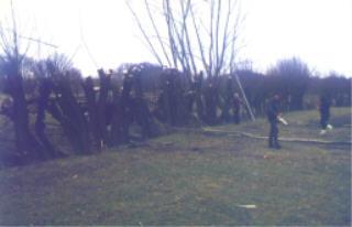 Jedes Jahr in den wintermonaten sind NABU Gruppen beim Schneiteln von Kopfweiden aktiv