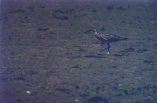 Regenbrachvogel