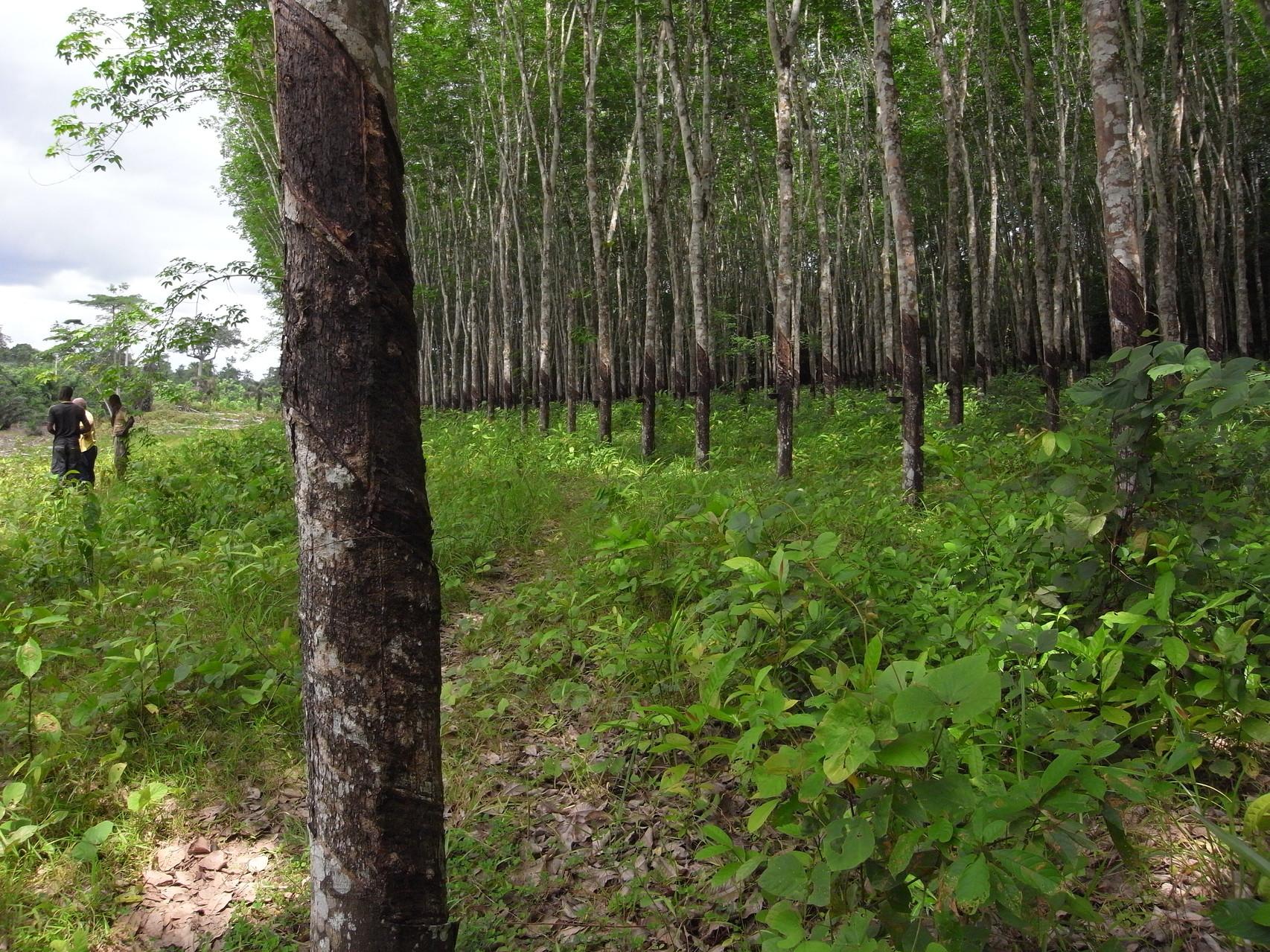 Plantation hévéas  Tshanfeto