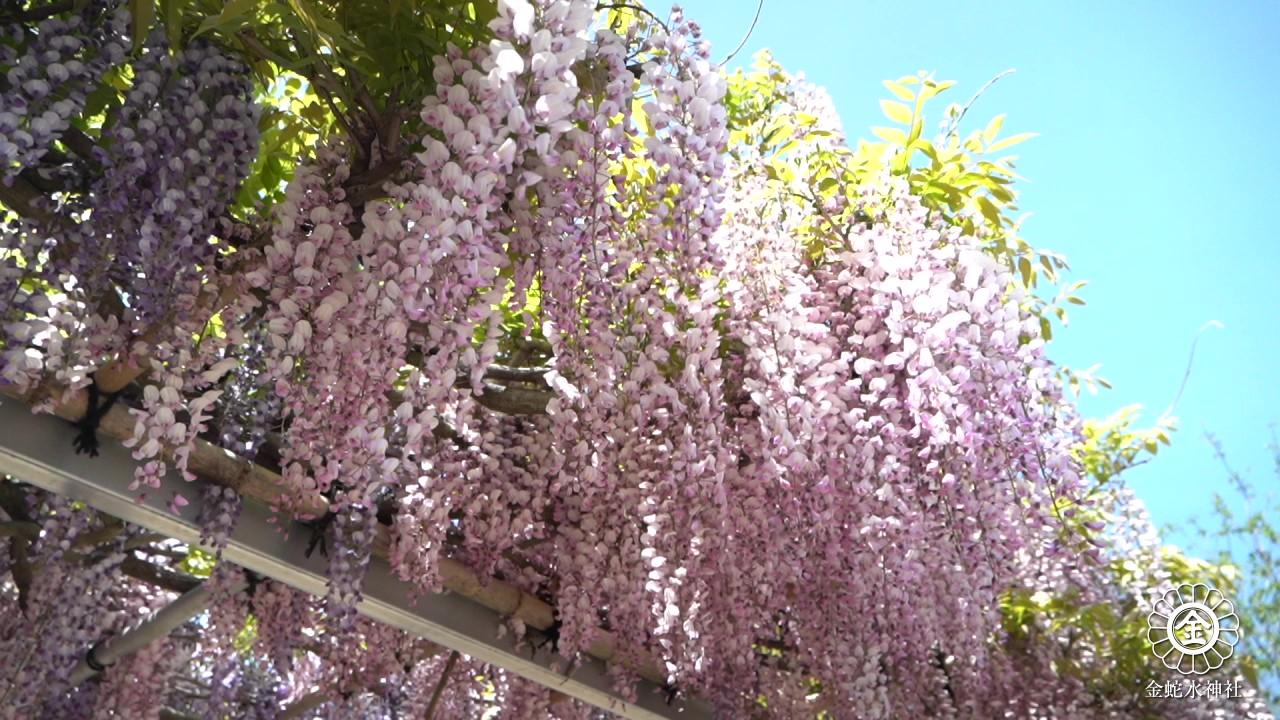 現在の藤・牡丹|Current wisteria and peony