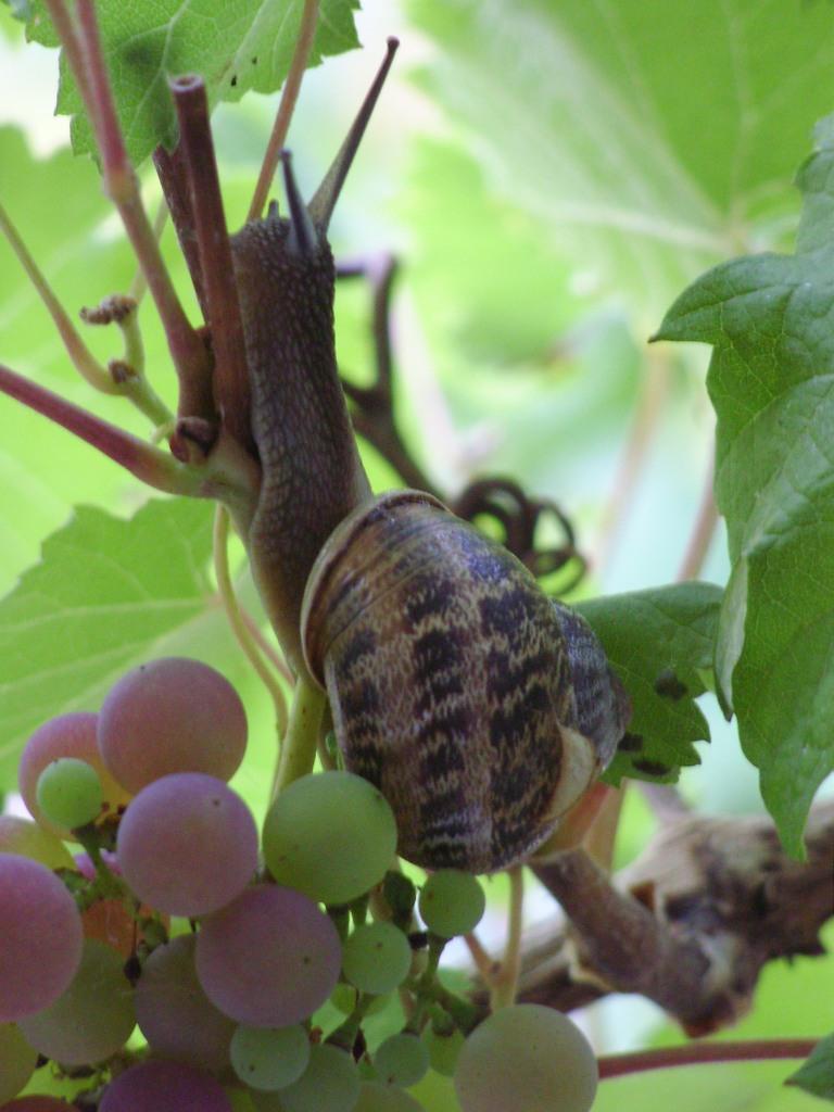 L'escargot se dévoile sainte megrine