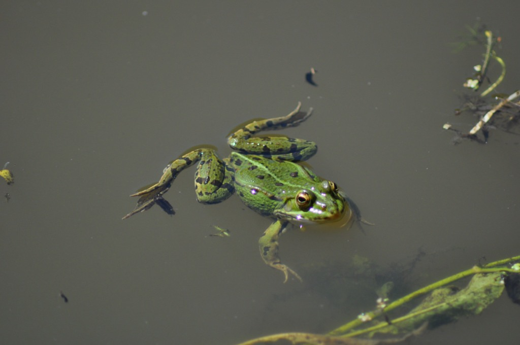 La grenouille dans la mare sainte megrine