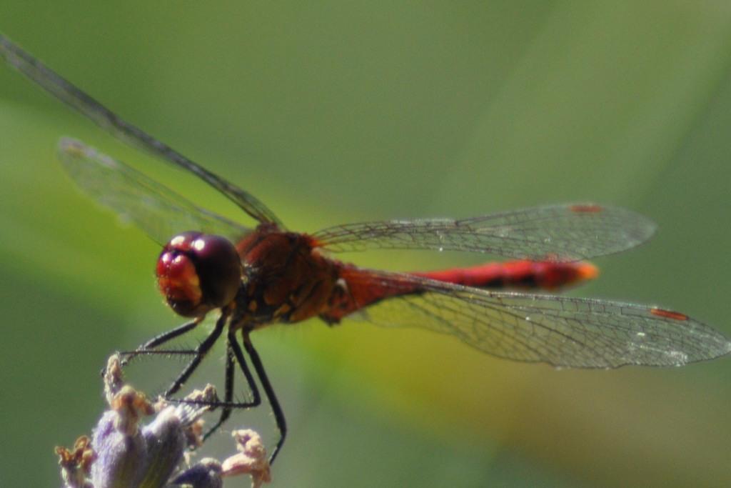 La libellule sainte megrine