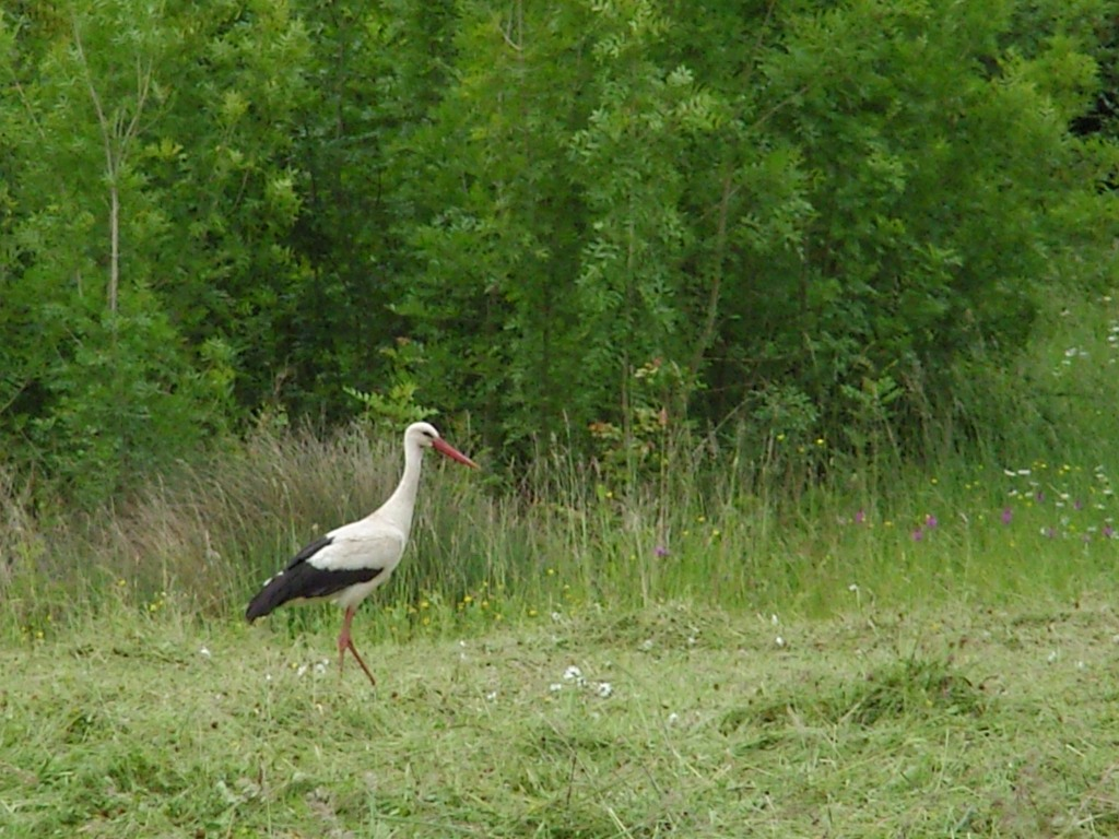 La cigogne blanche sainte megrine