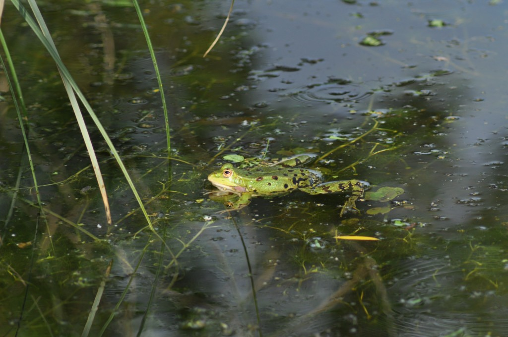 Gîte côté grenouilles Sainte Megrine à bientôt