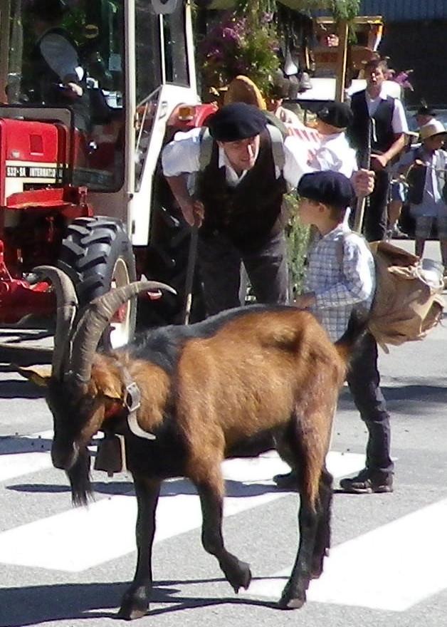 défilé des chèvres