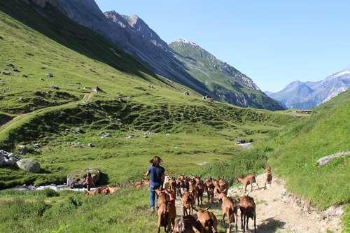 Chèvres en champs