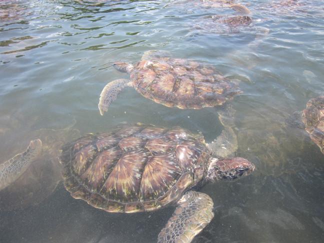 Wilde Wasserschildkröten, Madu River