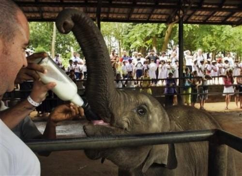 Pinnawela-Elefantenweisenhaus