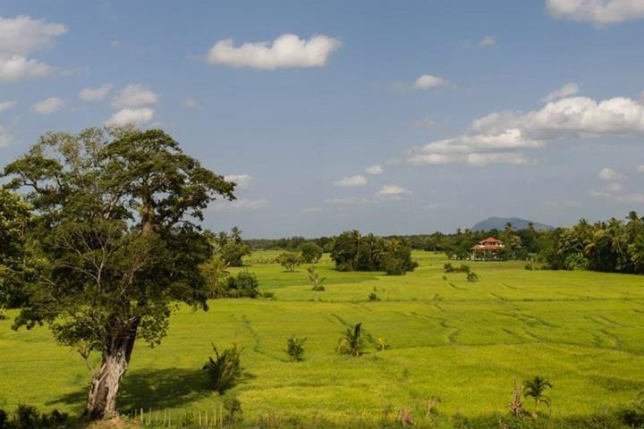 Sattgrüne Reisfelder, Tissamaharama