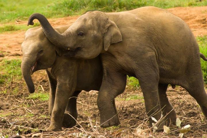 Pinnawela-Elefantenwaisenhaus
