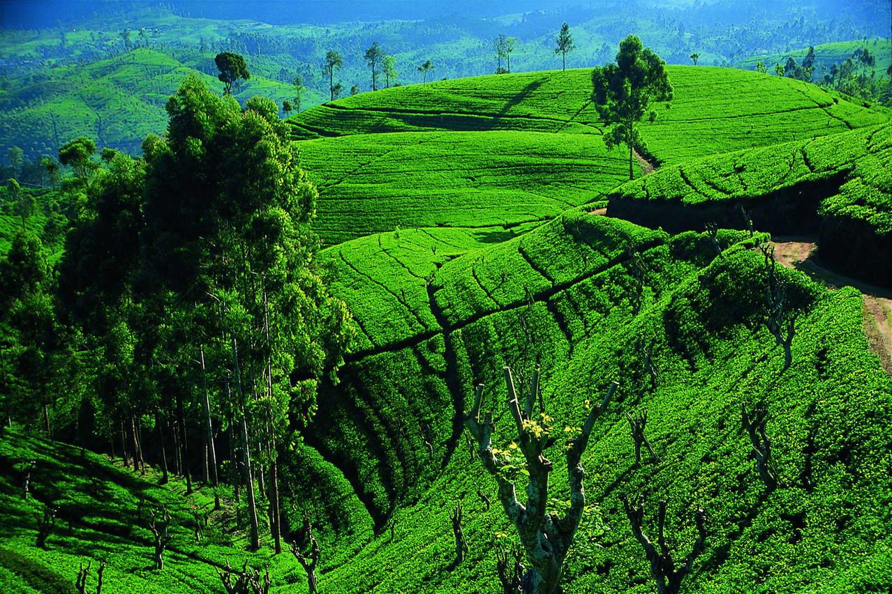Teeplantagen, Nuwara Eliya