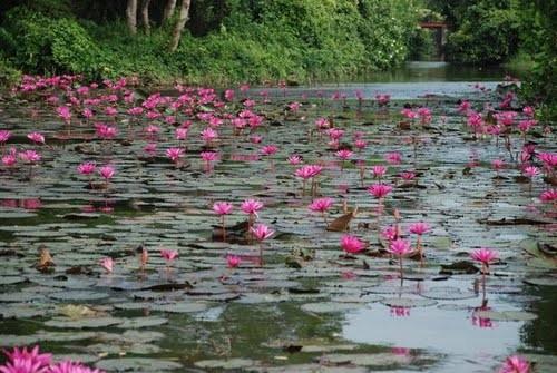 Ein Meer von Lotusblumen, Lake Tissamaharama