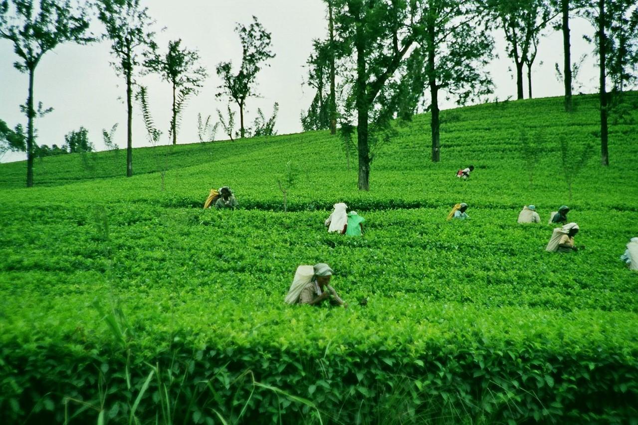 Teepflückerinnen, Nuwara Eliya