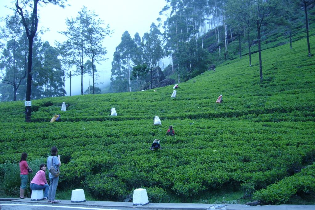 Teepflückerinnen im Hochland