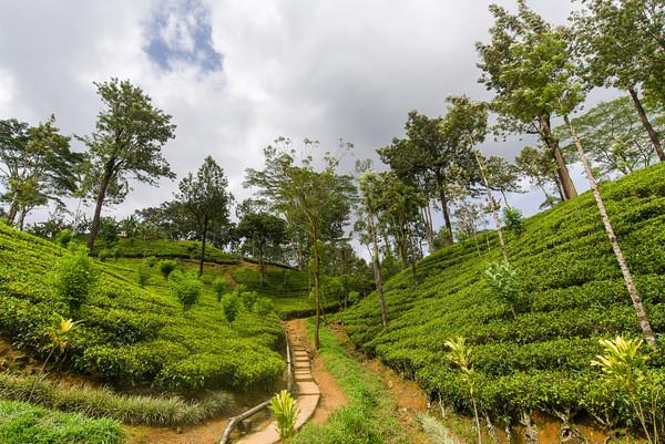 Wandern und spazieren durch die Teeplantagen Rund um Ella