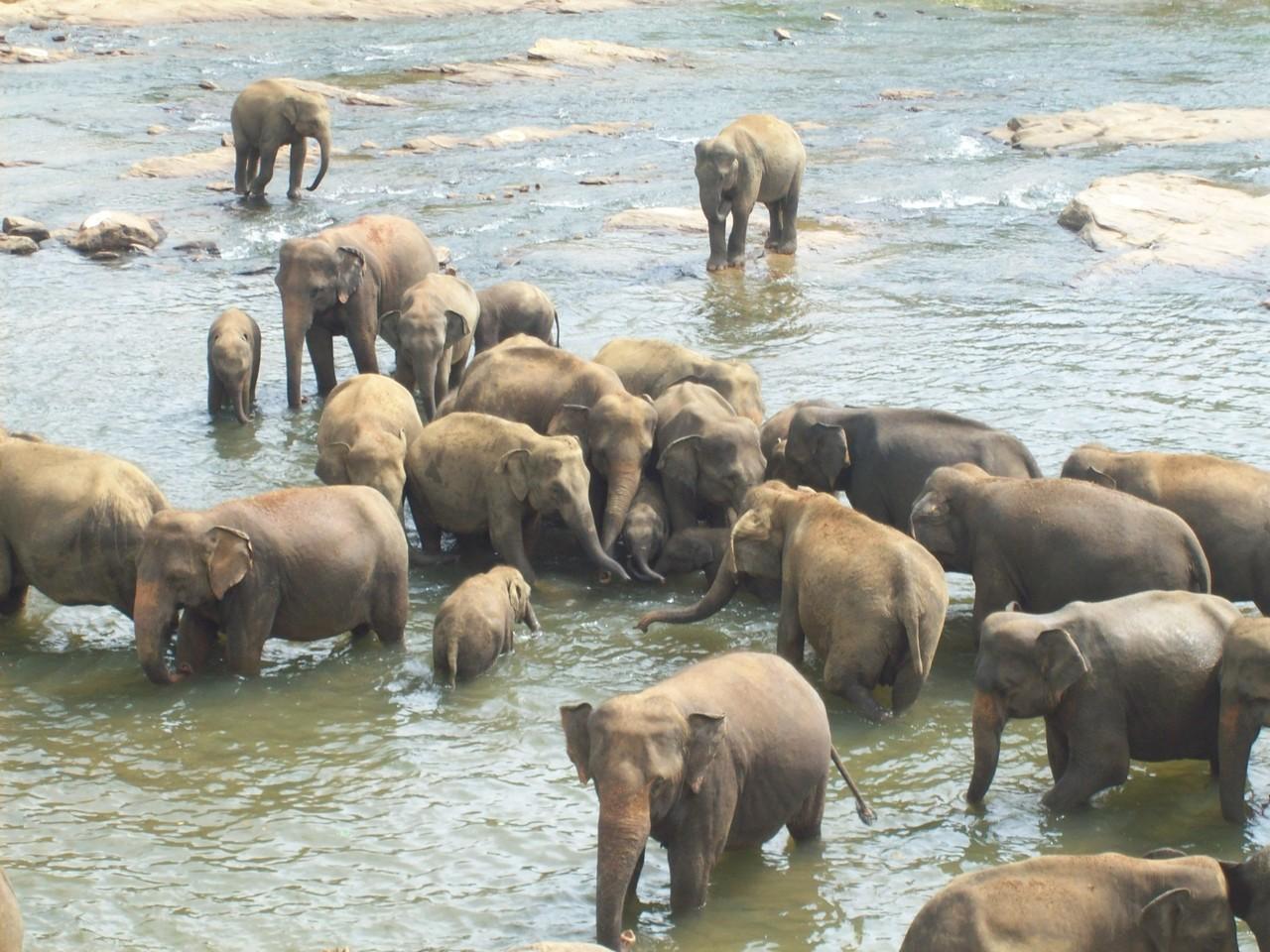 Elefantenwaisenhaus, Pinnawela