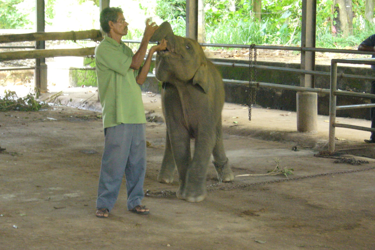 Fütterung der kleinen Elefanten, Pinnawela