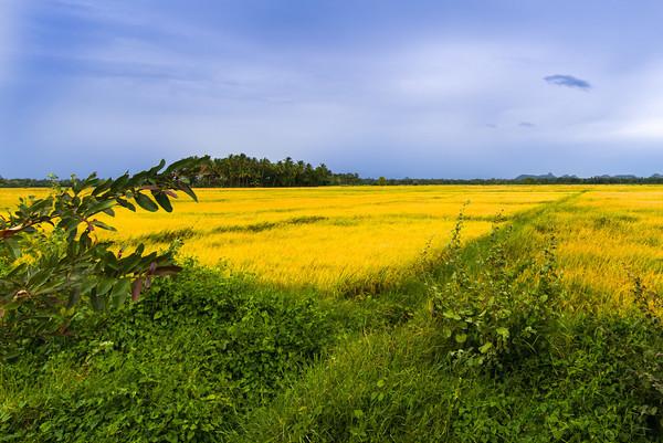 Reisfelder, Tissamaharama