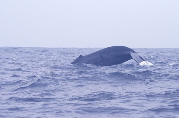 Whale & Dolphin Watching, Mirissa