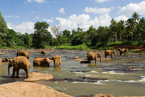 Elefanten baden im Fluss Maha Oya