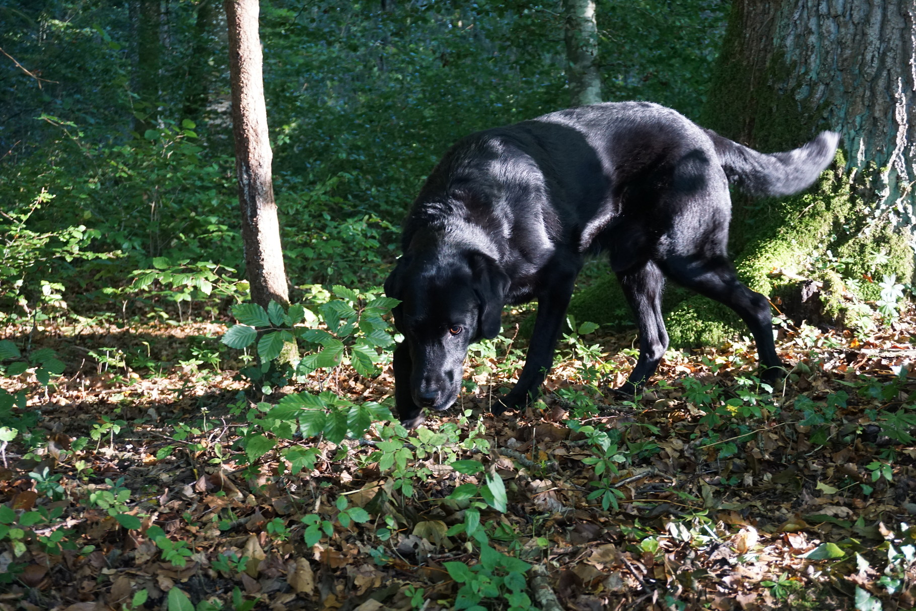 Trüffelhund Miro am Trüffeln
