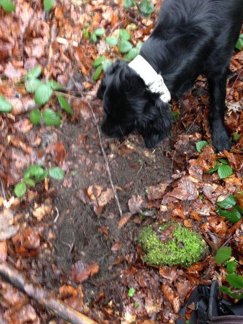 Bild: Schwarzer Hund am Trüffel suchen.