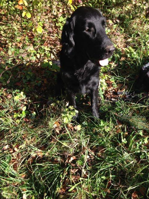 Bild: Trüffelhund Jabbar, schwarzer Flatcoated Retriver