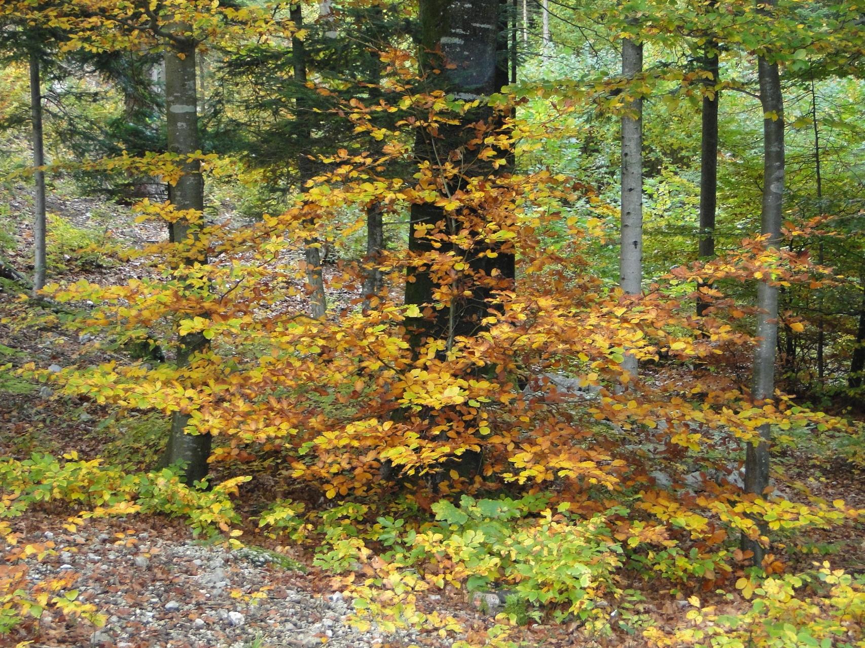 Wo befinden sich die Burgunder Trüffel? In solchen naturnahen herbstlichen Laubwälder in schweizer Mittelland beispielsweise.