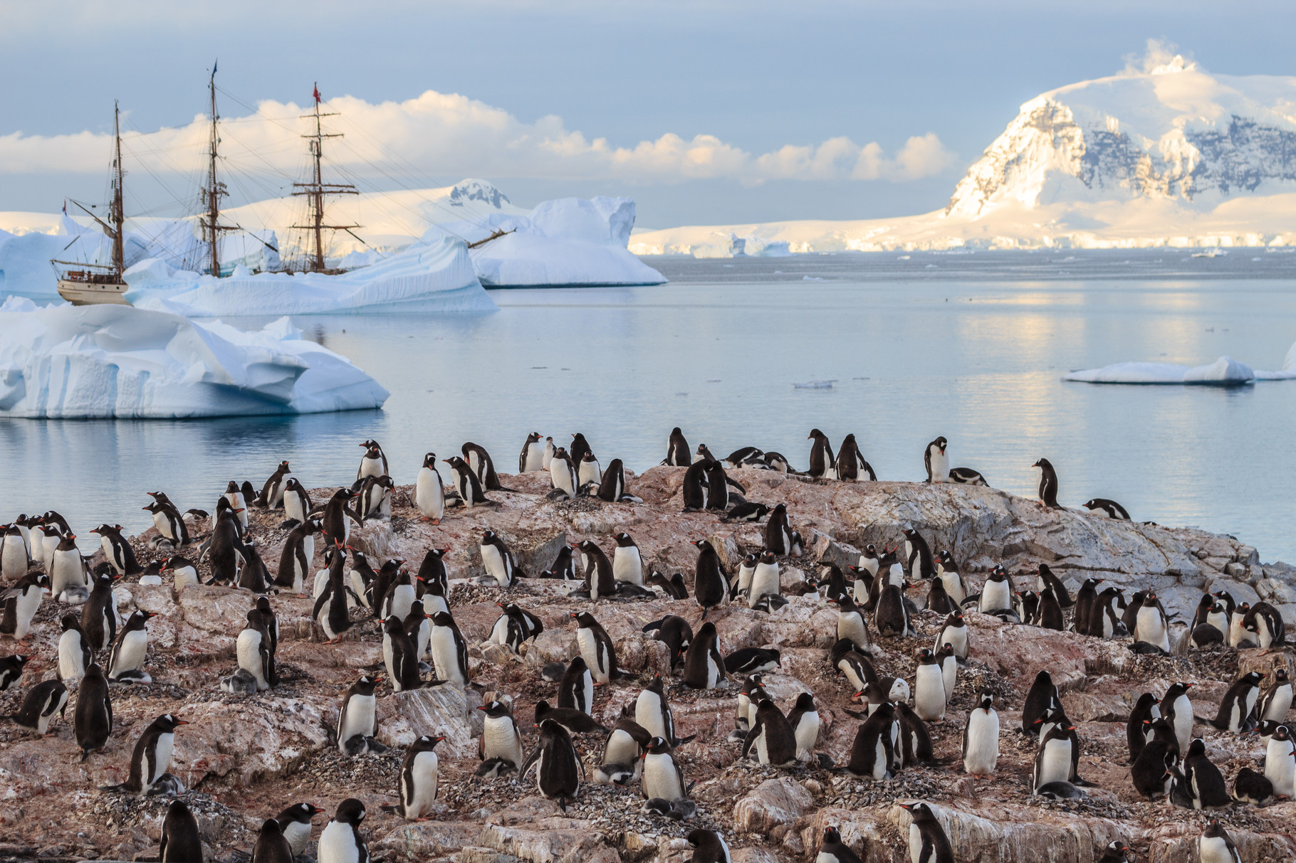 Segelreise mit der Bark Europa in die Antarktis: Cuverville Island, Eselspinguine, gentoo penguins