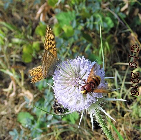 Hornissenschwebfliege, Hummel und Kaisermantel