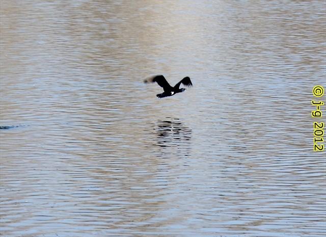 Kormoran - Fretter Loch