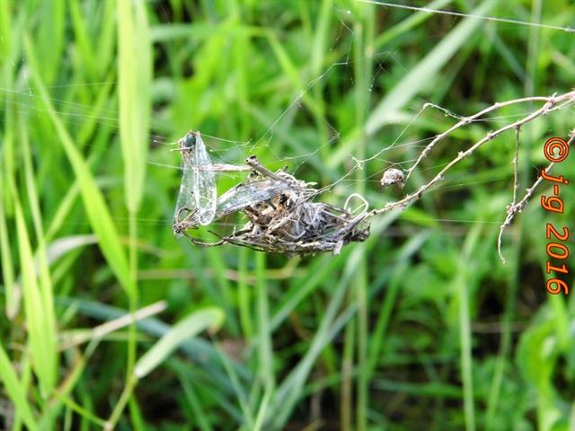 Spinnen gehören zu den Fressfeinden der Libellen