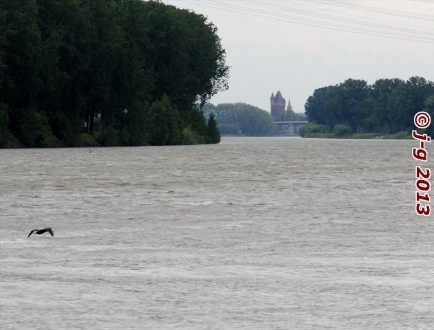 Rhein-Hochwasser - Kormoran auf Fischsuche